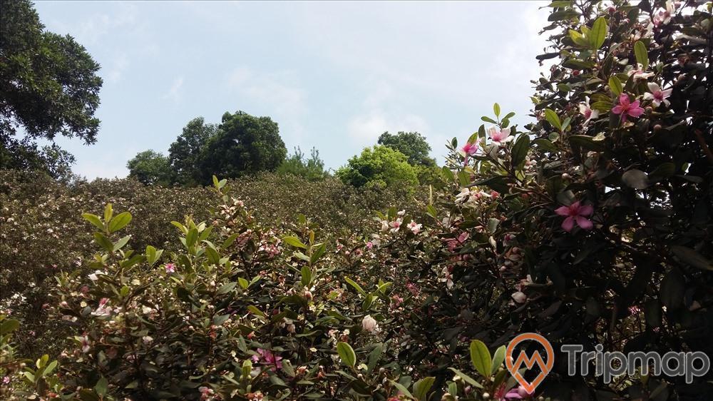 đồi cây sim tại khu du lịch Thác Đa, bầu trời nhiều mây, cây sim hoa màu hồng trắng, ảnh chụp trên đồi sim