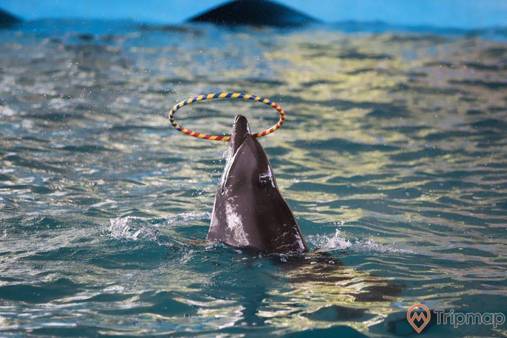 Cá heo diễn tiết mục nhảy qua vòng tròn tại sân khấu biểu diễn cá heo Tuần Châu, ảnh chụp cận cảnh cá heo biểu diễn