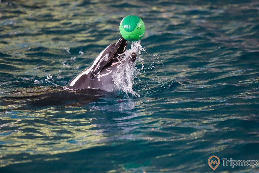 Con cá heo diễn với quả bóng màu xanh tại sân khấu biểu diễn cá heo Tuần Châu, ảnh chụp cận cảnh cá heo biểu diễn ở bể nước