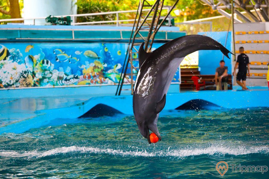 Cá heo đang biểu diễn tại sân khấu biểu diễn cá heo tuần châu, con cá heo đang kẹp quả bóng màu đỏ trong miệng và nhảy lên khỏi mặt nước, ảnh chụp trong sân khấu cá heo, một người đang đứng gần bể nước và một người đang ngồi