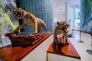 Bảo tàng Quảng Ninh, mô hình hổ, biển cả và tự nhiên, hổ vằn, nền gạch màu trắng, ảnh chụp ban ngày