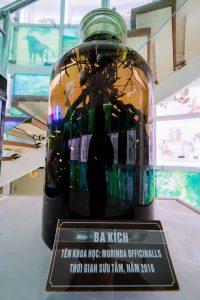 Bảo tàng Quảng Ninh, biển cả và tự nhiên, cây ba kích trong bình, bảng giới thiệu màu nâu