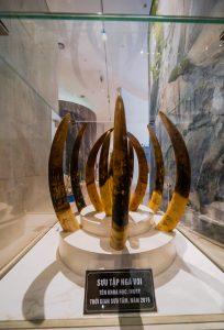 Bảo tàng Quảng Ninh, biển cả và tự nhiên, bộ sưu tập ngà voi, nhiều ngà voi màu nâu đặt trong tủ kính, ánh sáng trắng, bảng giới thiệu màu đen