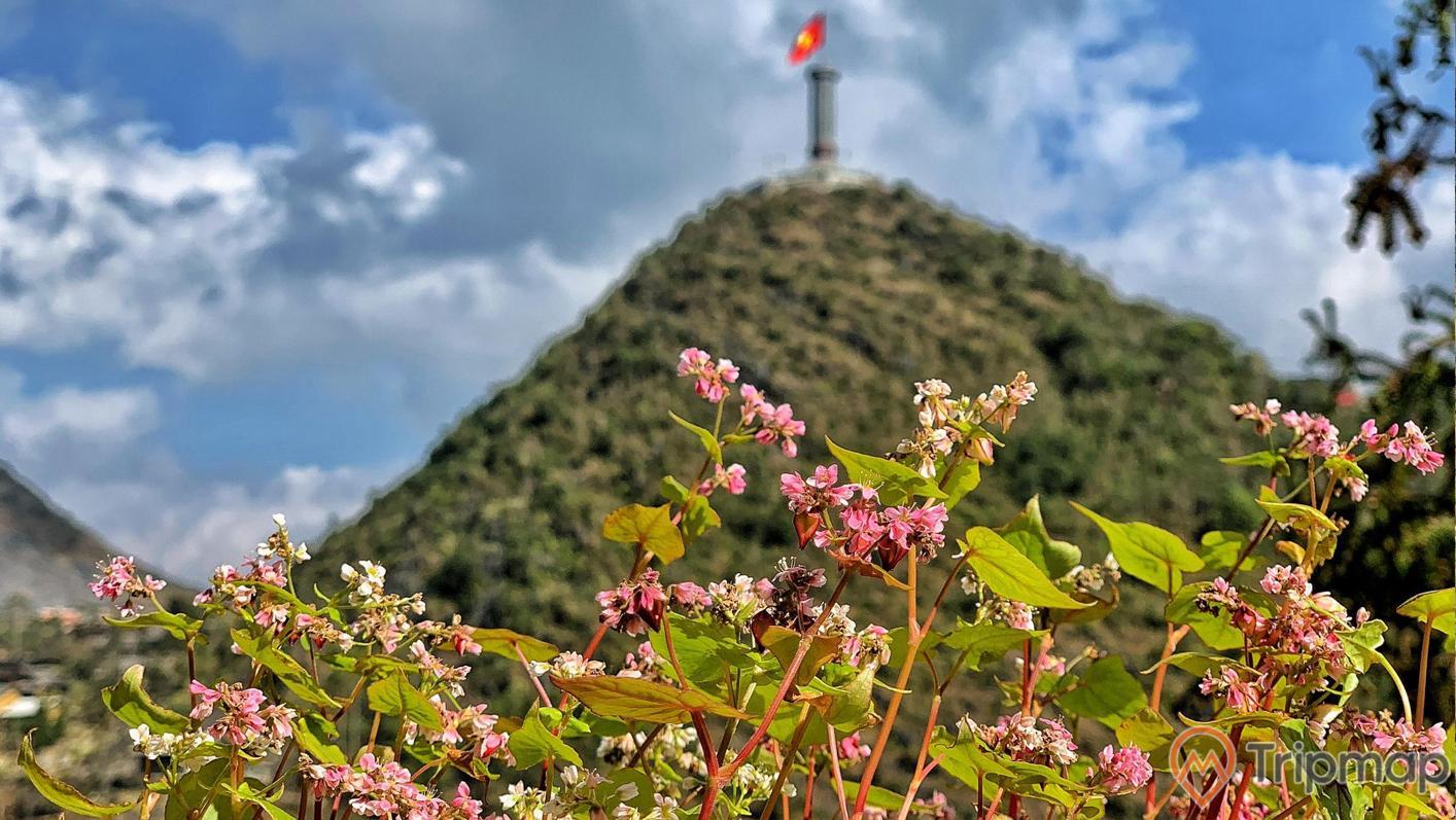 hoa tam giác mạch tại cao nguyên Đồng Văn, bầu trời nhiều mây, ảnh chụp ngoài trời