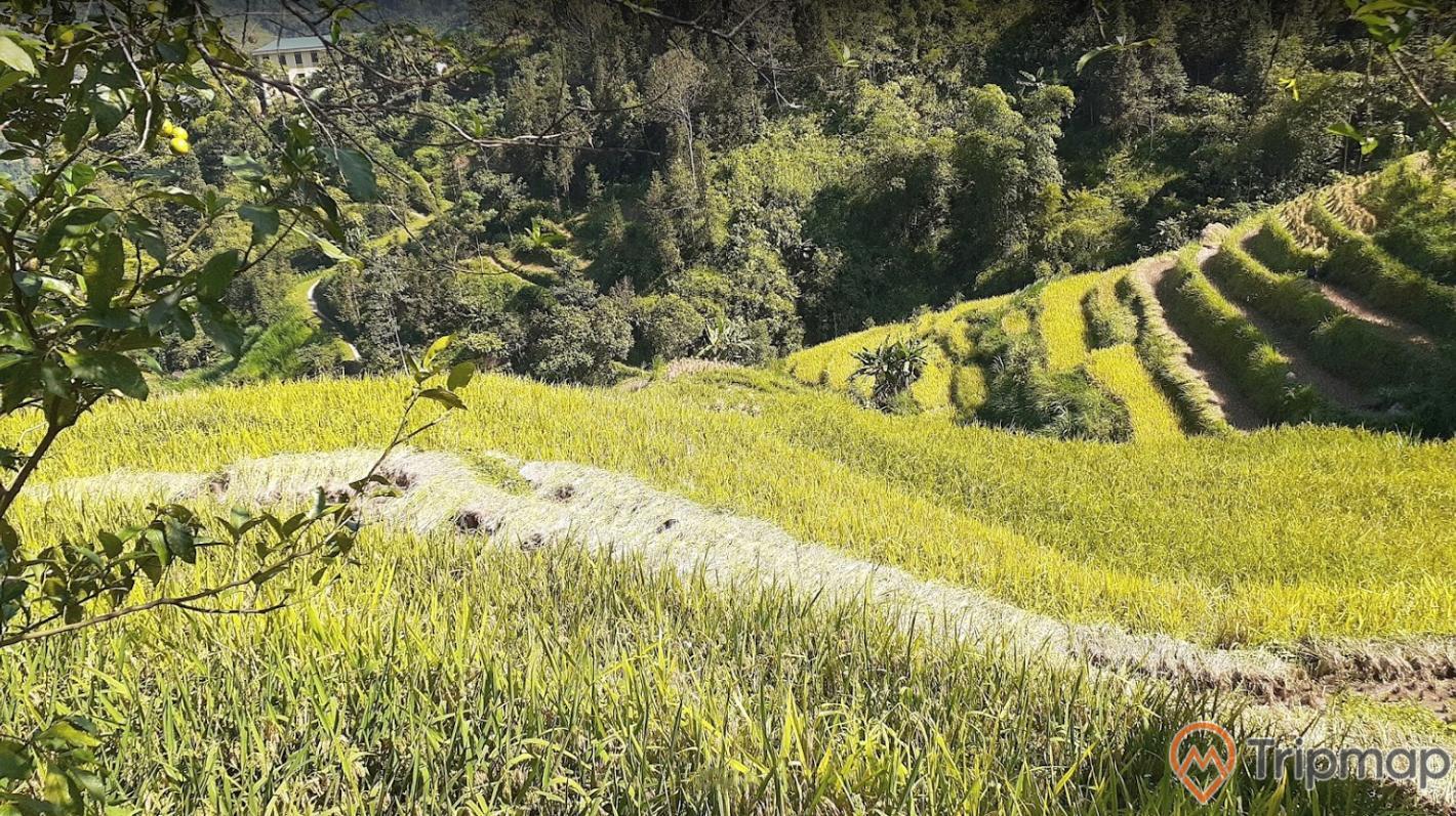 Cánh đồng lúa chín tại ruộng bậc thang Hoàng Su Phì, cây cối xanh tươi gần ruộng bậc thang, ảnh chụp trên cao