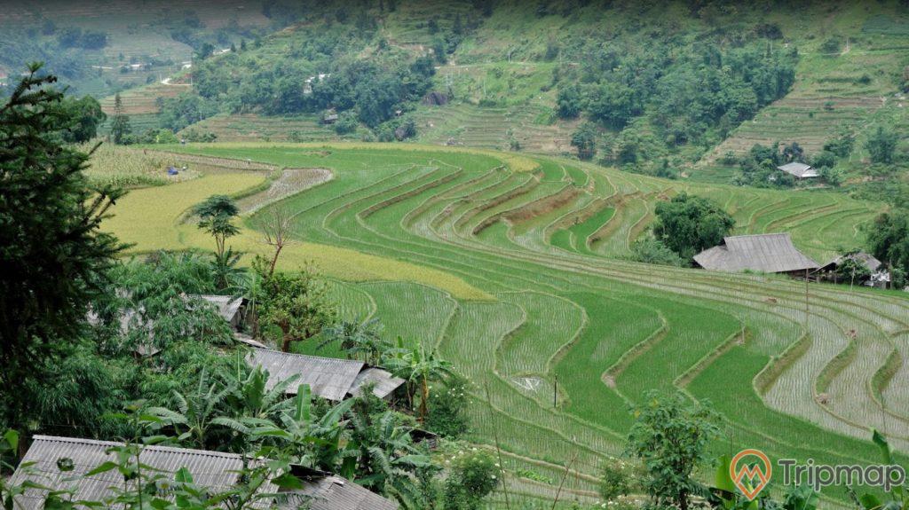 Thửa ruộng bậc thang Hoàng Su Phì, cây cối và ruộng lúa xanh tươi, ảnh chụp từ trên cao