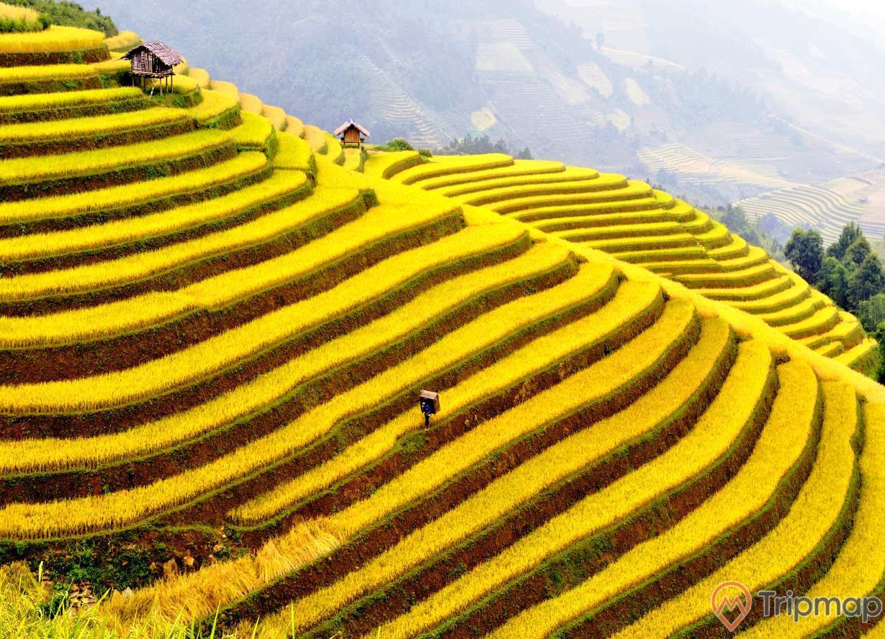 Mùa lúa chín vàng tại ruộng bậc thang hoàng su phì, ảnh chụp từ trên cao