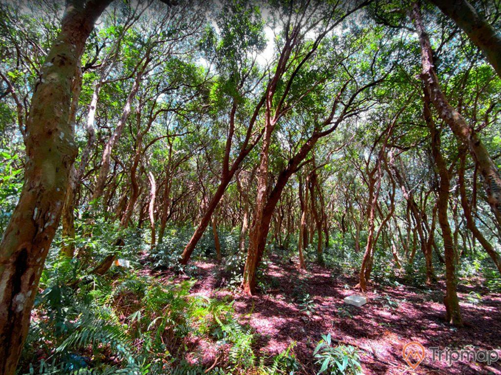 Rừng Trâm, nhiều cây trâm, trời nắng, ảnh chụp ban ngày