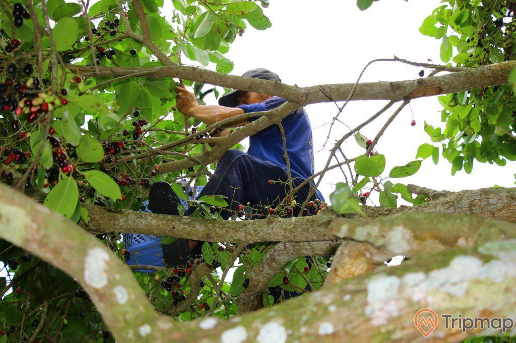 Rừng Trâm, nhiều quả trâm, người đàn ông mặc áo xanh đang hái quả, ảnh chụp ban ngày