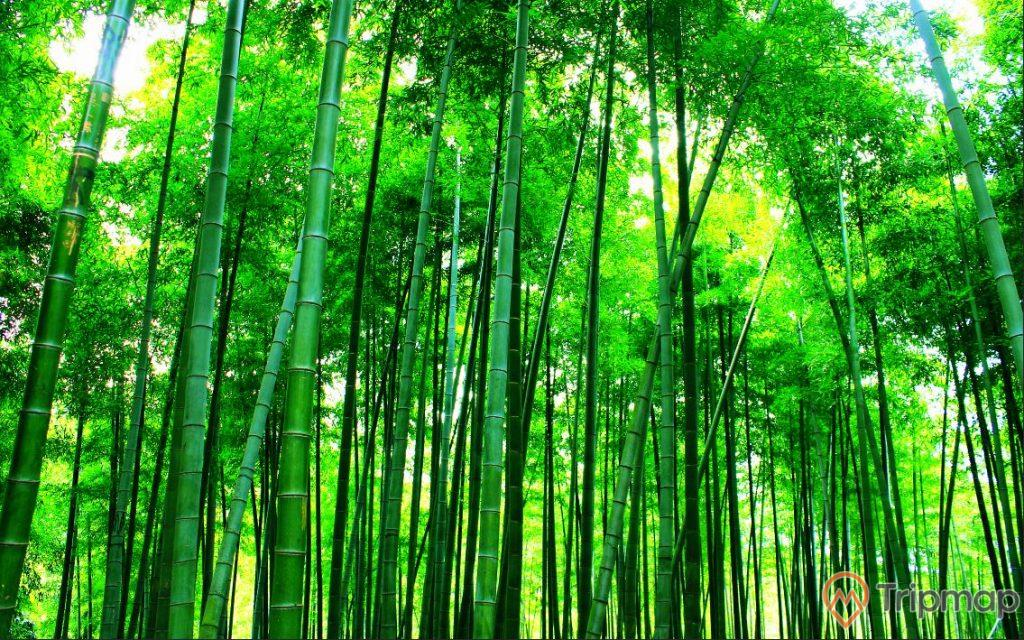 Rừng Trúc Yên Tử