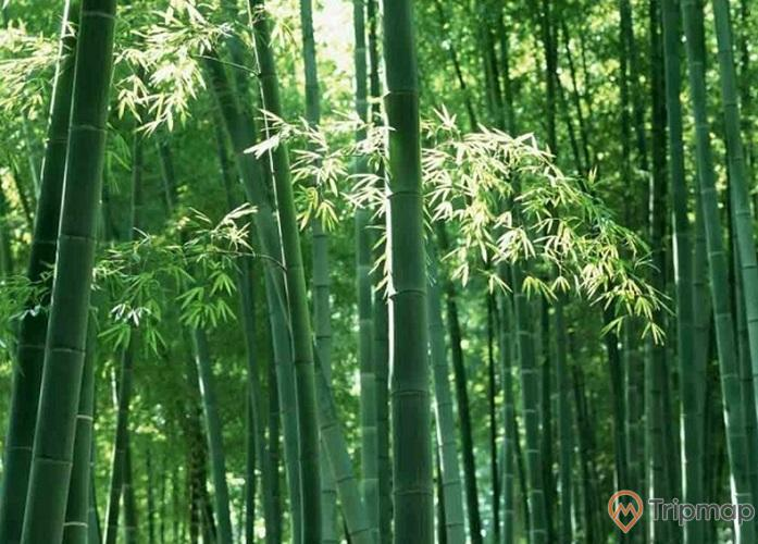 Rừng Trúc tại Yên Tử