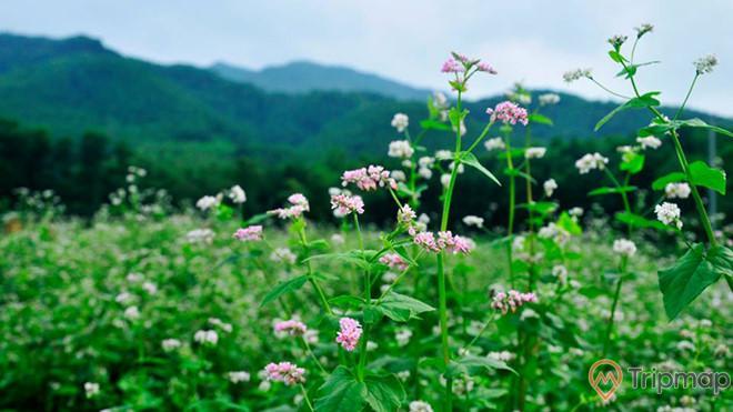 Khu vườn tam giác mạch - loại hoa nổi tiếng vùng cao Hà Giang