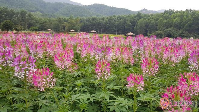 Vườn túy điệp nở rộ rực rỡ tại thung lũng hoa Yên Tử
