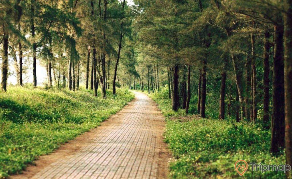 Ảnh chụp địa danh con đường tình yêu đảo Cô Tô, cây cối hai bên đường xanh tươi, ảnh chụp đứng dưới hàng phi lao
