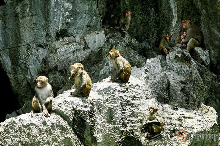 Tới hang Luồn du khách có thể ngắm nhìn những bầy khỉ lông vàng
