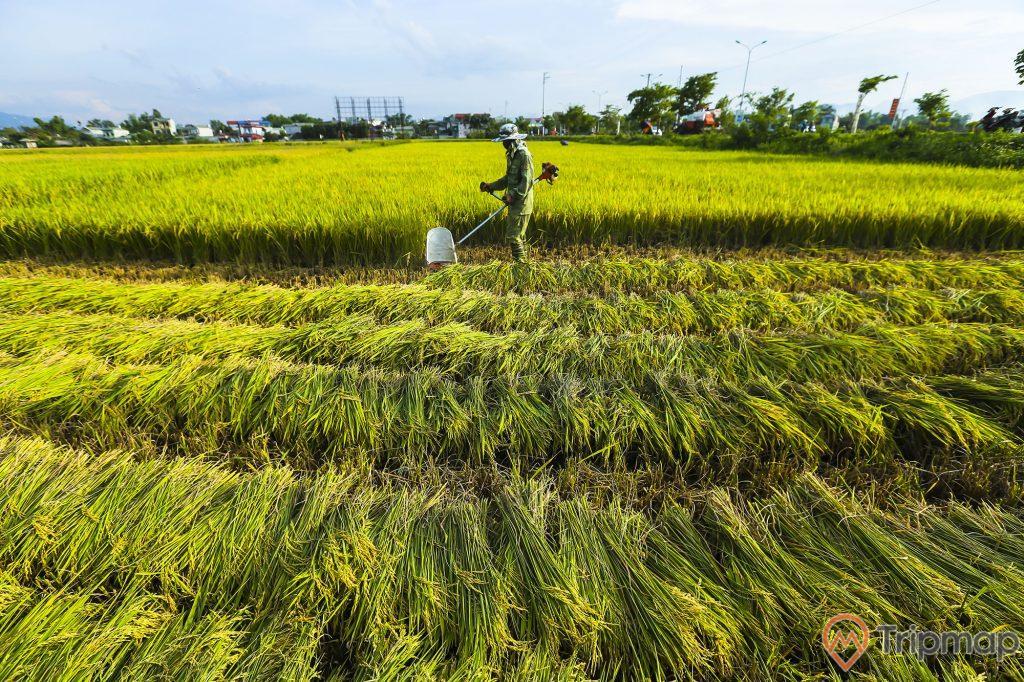 Người dân thu hoạch vựa lúa trên cánh đồng Mường Thanh, bầu trời có mây, ảnh chụp ngoài trời